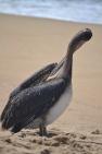 Mr. Pelican preening