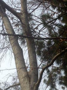 deciduous Celtis australis