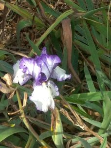 Iris blooming in January