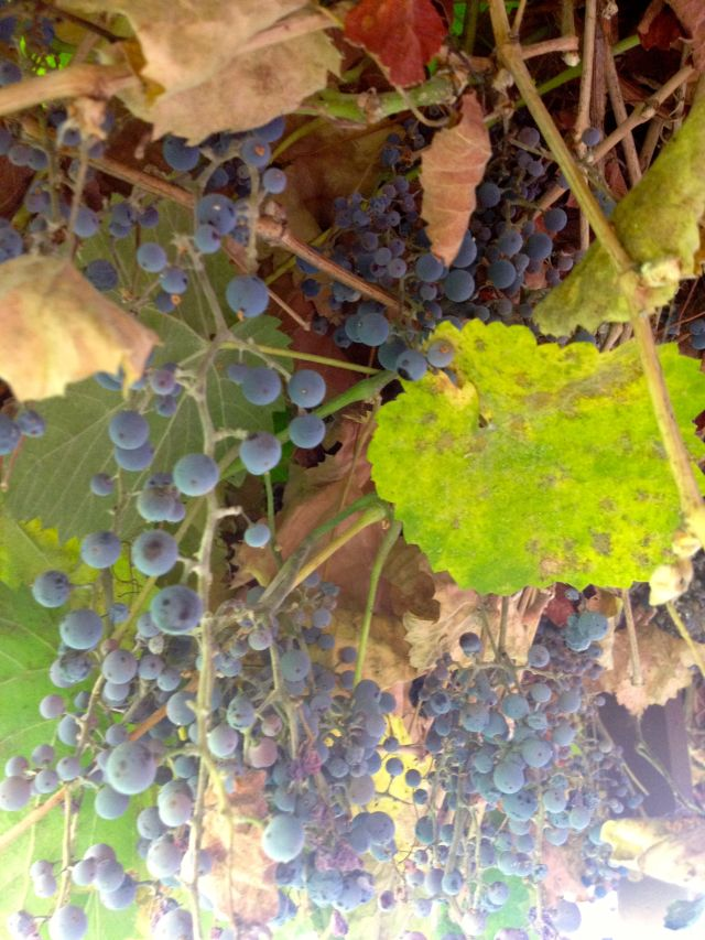 Grapes from the Old Mother grapevine, planted 1861