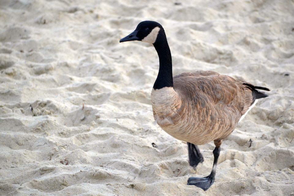 Canadian Goose 1