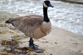 Canadian Goose by Stream 1