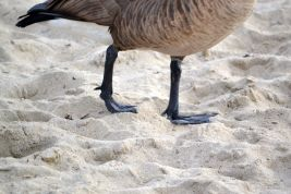 Canadian Goose webbed feet