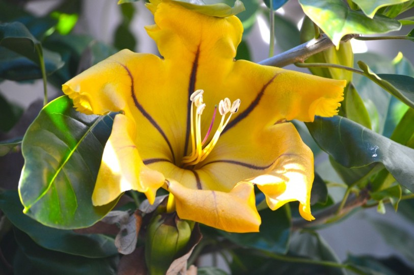 Cup of Gold, tropical plant native to Mexico