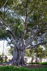 Fig Tree Santa Barbara Mission