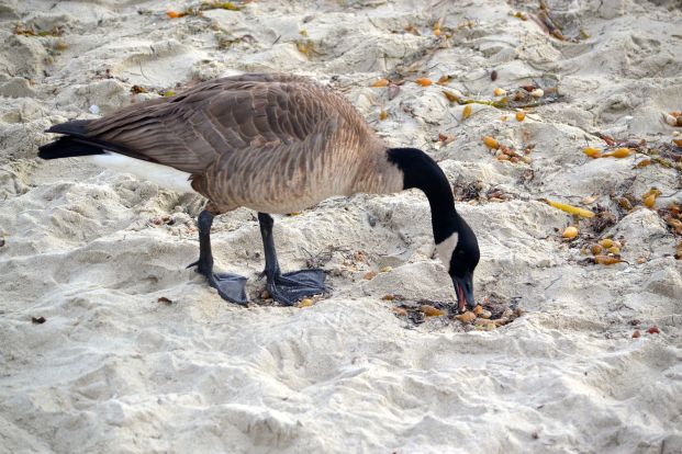 Foraging Canadian Goose