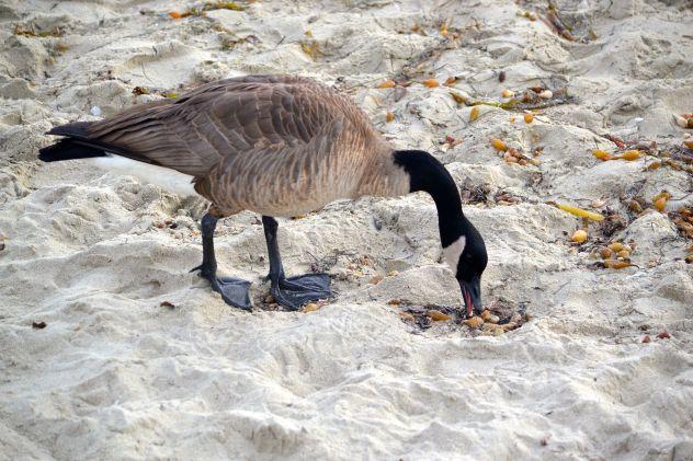Foraging Canadian Goose