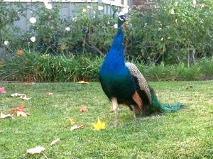 Arcadia Peacock