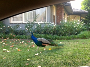 Peacock on Arcadia lawn