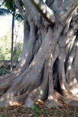 Moreton Fig Tree Santa Barbara Mission