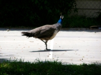 Peahen on the sports court