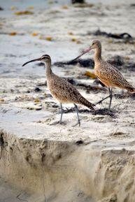 Shore Birds Laguna