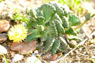 Succulent with weeds