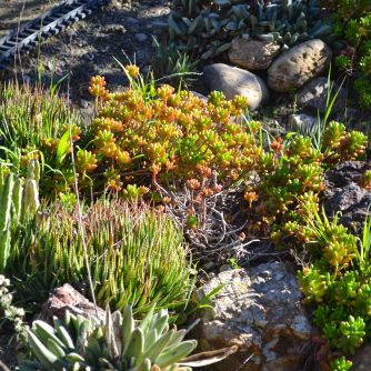Succulents with weeds