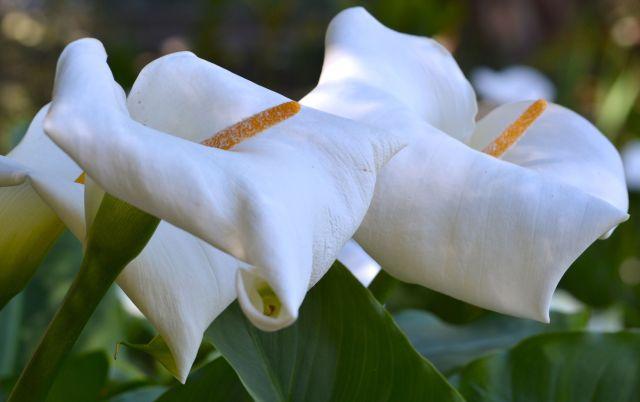 Calla Lilies, South Coast Botanic garden
