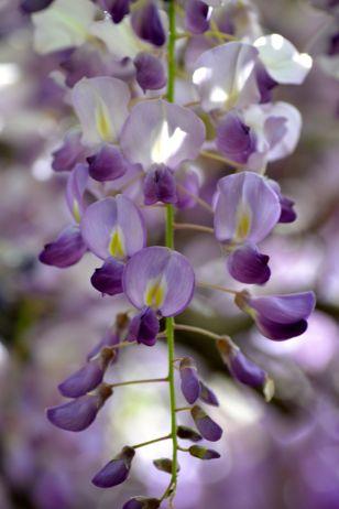 Wistaria flowers