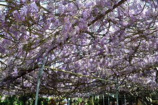 Wistaria canopy