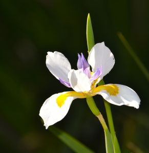 Dutch Iris, South Coast Botanic Garden