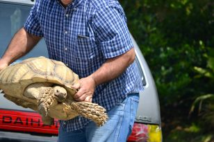 Man carrying his Sulcata