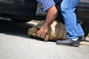 Sulcata under car