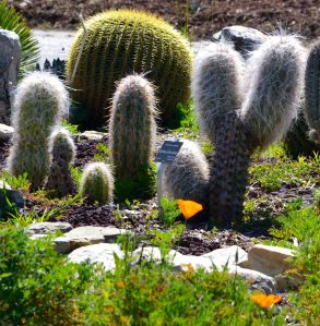 California poppies in the cactus garden, South Coast Botanic Garden