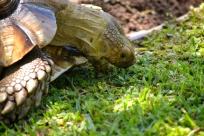 Darwin eating grass