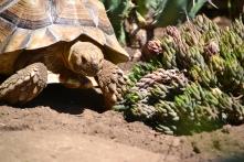 Darwin eating succulents