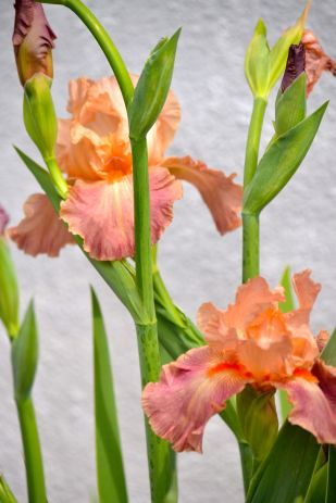 Salmon-colored Iris