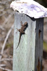 Coastal Lizard
