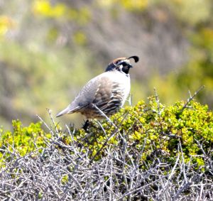 California Quail...State Bird