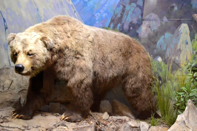 A Grizzly exhibit at the Santa Barbara Museum of Natural History