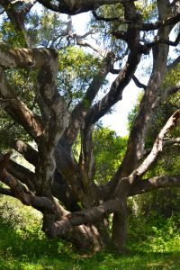Oak at Los Osos Oaks State Reserve