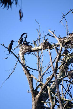 Cormorant Mother feeding baby