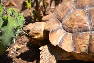 Darwin eating cactus