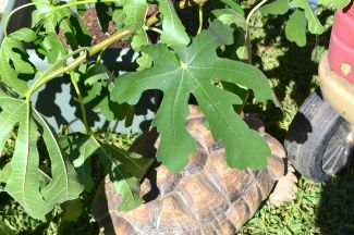 Darwin hiding under fig leaves