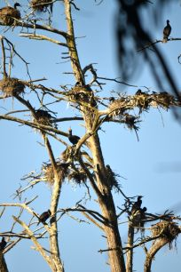 Cormorant nests Morro Bay