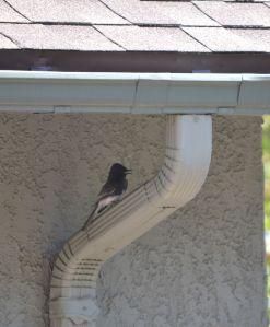Phoebe preparing to nest