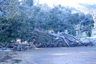 Eucalptus Tree