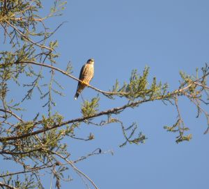 hawk in redwood tree