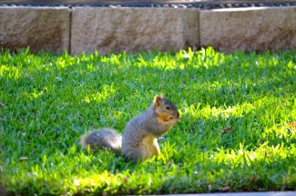 Squirrel in backyard