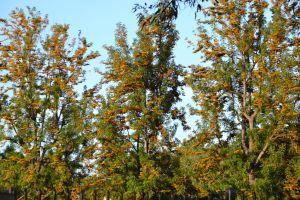 Australian Oak