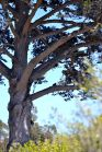 Tree in Cayucos
