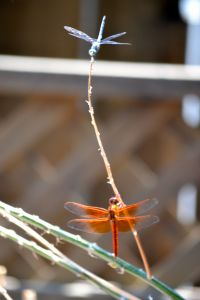 Blue and Orange Dragonflies