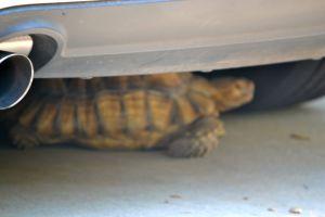 Darwin under the car