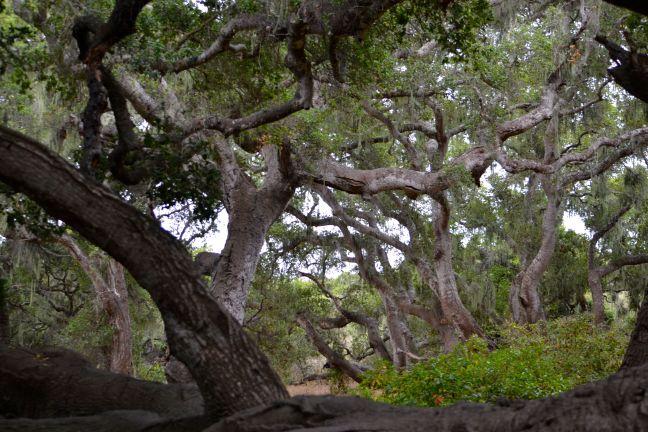 Oak Groves
