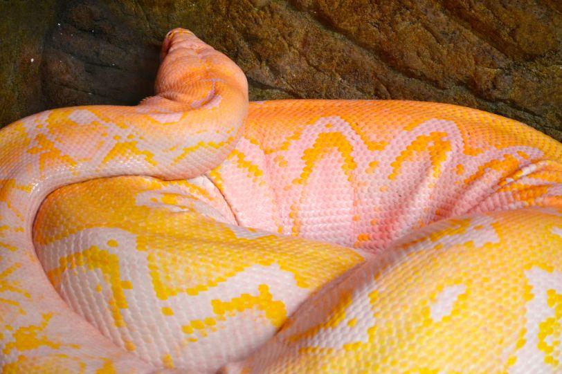 Albino Reticulated Python