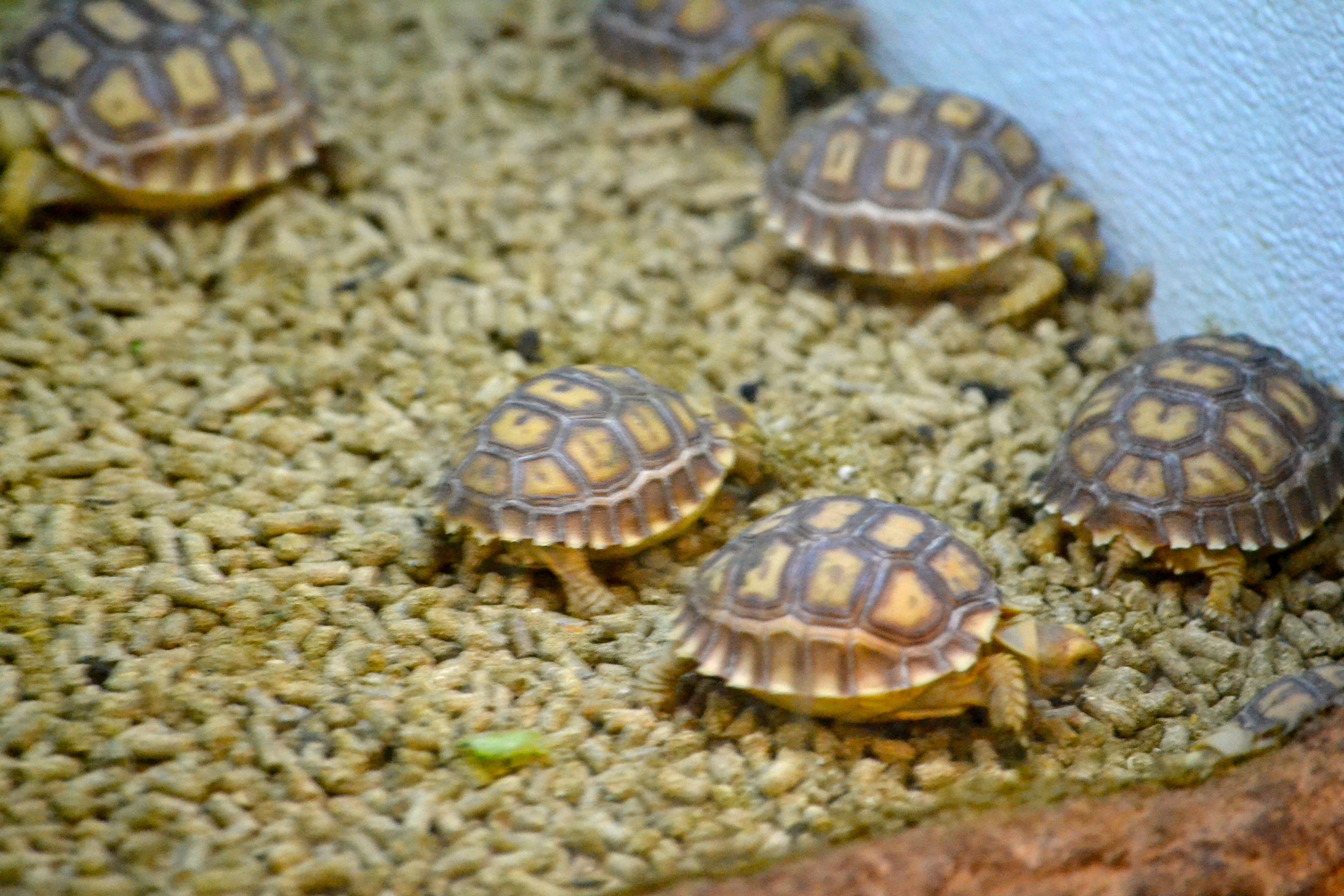 African spurred tortoise baby