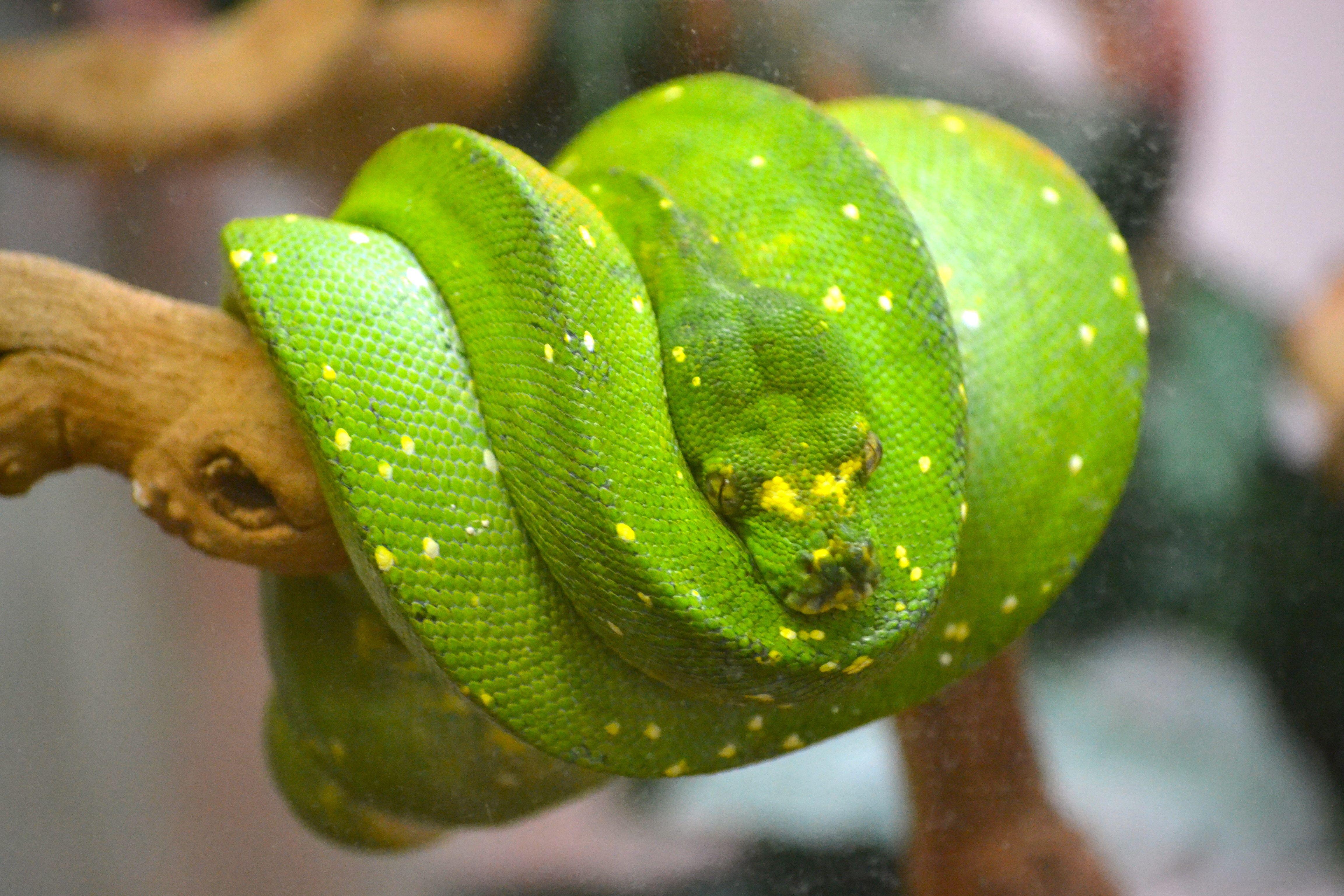 Green tree python baby