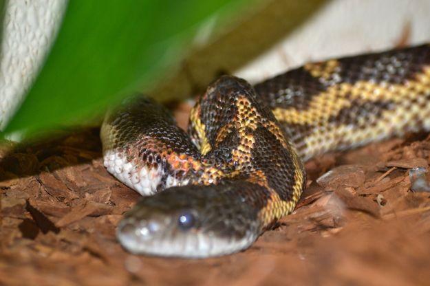Two-headed Texas ratt Snake