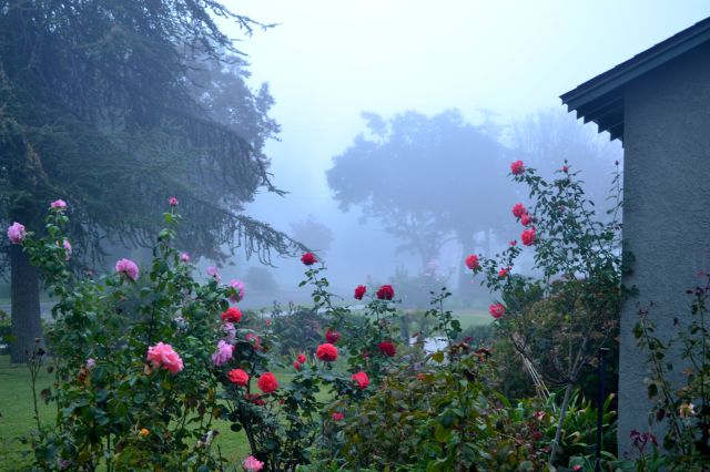 Early morning fog over the rose garden.